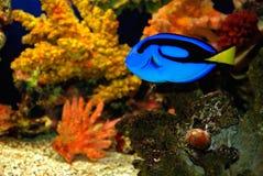Pesce tropicale Immagine Stock