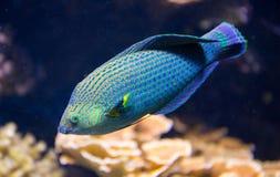 Pesci tropicali Fotografie Stock