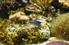 Pesci tropicali in acquario Immagini Stock