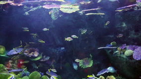 Pesci tropicali alle pietre ed ai coralli stock footage