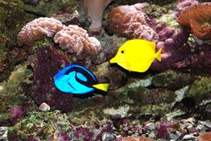 Pesci tropicali blu e gialli. fotografia stock