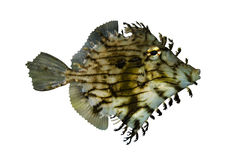 Pesci tropicali Chaetodermis immagine stock