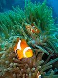 Pesci tropicali del pagliaccio Fotografie Stock Libere da Diritti