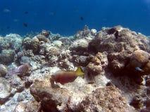 Pesci tropicali della barriera corallina Immagine Stock