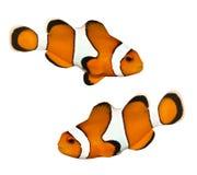 Pesci tropicali della scogliera Immagine Stock Libera da Diritti