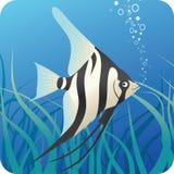 Pesci tropicali dello scalaire sotto acqua Immagini Stock Libere da Diritti
