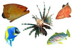 Pesci tropicali isolati Fotografie Stock Libere da Diritti