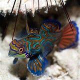 Pesci tropicali Mandarinfish Immagini Stock Libere da Diritti