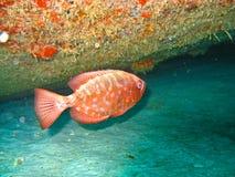 Pesci tropicali rossi Immagine Stock