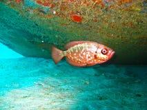 Pesci tropicali rossi Immagini Stock Libere da Diritti