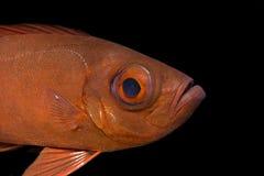 Pesci tropicali subacquei: Priacanto comune Immagine Stock