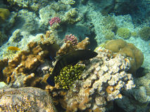 Pesci tropicali variopinti Fotografia Stock