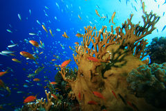 Pesci tropicali variopinti immagine stock libera da diritti