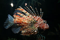 Pesci tropicali variopinti Immagini Stock Libere da Diritti