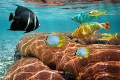 Pesci tropicali variopinti e barriera corallina Fotografia Stock
