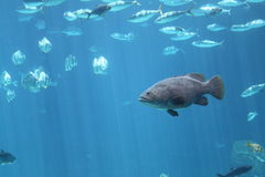 Pesci in un acquario Immagini Stock Libere da Diritti