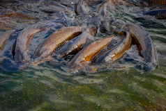 Pesci in uno stagno Fotografia Stock
