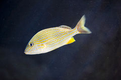 Pesci variopinti Fotografia Stock Libera da Diritti