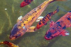 Pesci variopinti di Koi fotografia stock