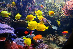Pesci variopinti e corallo Fotografia Stock