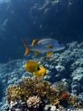 Pesci variopinti nel Mar Rosso fotografie stock