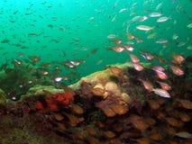 Pesci vetrosi dell'esca e di spazzate Fotografia Stock Libera da Diritti