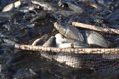 Pesci vivi di cattura in uno stagno Fotografia Stock