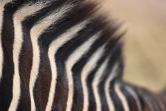 Pescoço da zebra Imagem de Stock Royalty Free