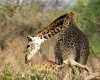 Pescoço de dobra do girafa Fotografia de Stock Royalty Free