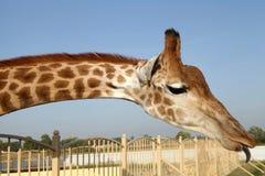 Pescoço enorme do girafa e cara engraçada com língua Foto de Stock
