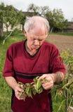 Pesco d'esame dell'agricoltore Fotografie Stock Libere da Diritti