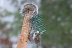Pesky Gray Squirrel. A pesky American gray squirrel helping itself to suet put out to feed the birds royalty free stock photo
