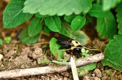 Carpenter bees aka bore bees. Pesky but mostly harmless carpenter bees outdoors royalty free stock images