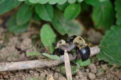 Carpenter bees aka bore bees. Pesky but mostly harmless carpenter bees outdoors royalty free stock photos