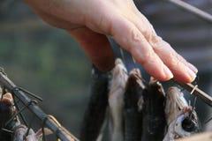 Pesque a barata, forçar é secado após a conservação em vinagre e embeber Caixa especial para a proteção contra insetos das moscas foto de stock royalty free