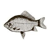 Pesque a carpa crucian, vista preto e branco, lateral isolada Imagens de Stock Royalty Free