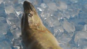 Pesque el lucio en el hielo en la placa giratoria almacen de metraje de vídeo