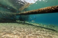 Pesque em torno de um tubo de descarga subaquático no Mar Vermelho. imagem de stock royalty free