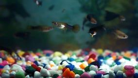 Pesque en el acuario, una familia muy grande de guppies, en la parte inferior de piedras coloreadas, metrajes