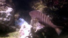 Pesque la laguna subacuática de la mariposa amarilla del ángel del bajío del océano en las Islas Galápagos almacen de video