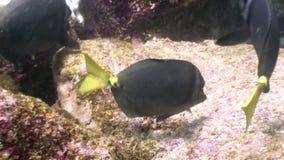 Pesque la laguna subacuática de la mariposa amarilla del ángel del bajío del océano en las Islas Galápagos metrajes