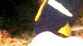 Pesque la laguna subacuática de la mariposa amarilla del ángel del bajío del océano en las Islas Galápagos almacen de metraje de vídeo