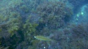 Pesque la mudanza sobre los cantos rodados cubiertos en las algas marinas, la flora subacuática y la fauna, océano metrajes