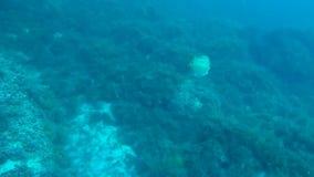 Pesque la natación debajo del agua sobre los cantos rodados cubrió el musgo subacuático, habitantes del mar metrajes