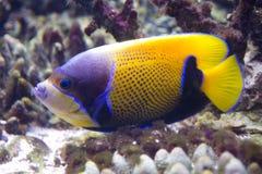 pesque los colores brillantes de las zonas tropicales Ray-aletadas del percoid del capitán del ángel del Rifai coralino Fotos de archivo