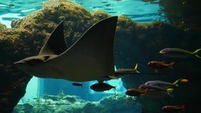 Pesque o jardim zoológico, grandes grampo-peixes nadam no aquário entre peixes pequenos na agua potável video estoque