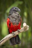 Pesquet ` s鹦鹉Psittrichas fulgidus 免版税库存图片