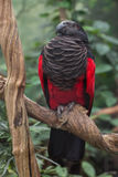 Pesquet`s parrot Psittrichas fulgidus. Also known as the vulturine parrot royalty free stock images