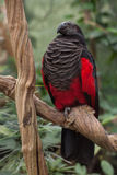 Pesquet`s parrot Psittrichas fulgidus. Also known as the vulturine parrot royalty free stock photos