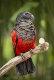 Pesquet`s Parrot Psittrichas Fulgidus. Pesquet`s parrot is a large parrot with a total length of approximately 46 cm 18 in and a weight of 680–800 g 24 royalty free stock images